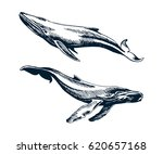 two blue and humpback whales.... | Shutterstock .eps vector #620657168