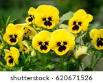 Flowers Pansies Bright Yellow...