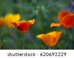 A Deep Orange  California Popp...