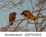 Two Turkey Vultures Perched An...
