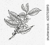 coffee tree illustration.... | Shutterstock .eps vector #620703893