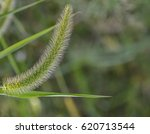 Closeup Of Grass Tassel With...