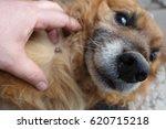 help clean ticks from dogs.   Shutterstock . vector #620715218