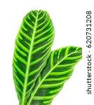 calathea zebrina leaf isolated... | Shutterstock . vector #620731208