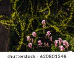 beautiful spring background.  Magnolia flowers closeup on a branch. blurred background of blossoming garden - stock photo