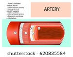 artery structure. anatomy of... | Shutterstock .eps vector #620835584