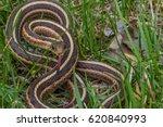 Closeup Of Garter Snake Coiled...