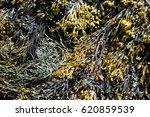 A Type Of Seaweed  Bladderwrac...