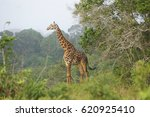 giraffe standing between the... | Shutterstock . vector #620925410