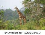 giraffe standing between the... | Shutterstock . vector #620925410