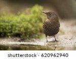 Blackbird Posing In The Garden...