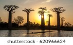 avenue of the baobabs | Shutterstock . vector #620966624