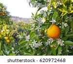 valencian orange and orange... | Shutterstock . vector #620972468