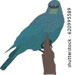 portrait of a wild burchell's... | Shutterstock .eps vector #620995589