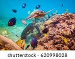 endangered hawaiian green sea... | Shutterstock . vector #620998028