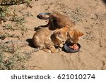 Small photo of African wild cat kittens, eating from each other plates