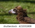 Head Of Cinereous Vulture...