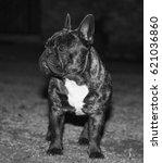 Small photo of French bulldog