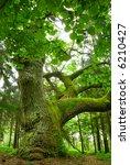 Mighty Oak In The Wood   Mazur...