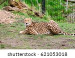 Cheetah Lying On The Ground