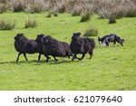 A Sheep Dog Herding A Flock Of...