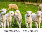 group of lambs  little cheeps | Shutterstock . vector #621220334