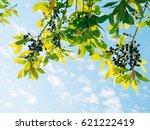 leaves of laurel and berries on ... | Shutterstock . vector #621222419