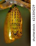 Butterfly Pupa  Chrysalis   ...