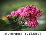 kalanchoe blossfeldiana ... | Shutterstock . vector #621330539
