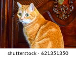 Small photo of Domestic red ginger cat