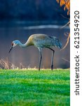 Small photo of Vertical image of a Sandhill Crane (grus canadensis) walking by a lake in the springtime.