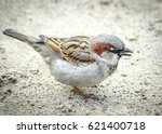 Small photo of Beautiful little sparrow bird in natural background with blacken edges. Generally, sparrows are small, plump, brown-grey birds with short tails and stubby, powerful beaks.