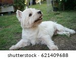 a happy westie dog laying in... | Shutterstock . vector #621409688