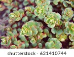Small photo of Alpine Saxifrage saxifraga paniculata group as background