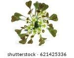 shepherd's purse  capsella... | Shutterstock . vector #621425336