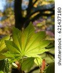Small photo of Acer leaf backlit by spring sunshine
