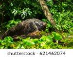 giant anteater | Shutterstock . vector #621462074