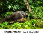 giant anteater | Shutterstock . vector #621462080