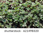 Small photo of Alchemilla erythropoda (dwarf lady's mantle) is a species of flowering herbaceous perennial plant in the family Rosaceae. It forms a clump of hairy, palmate leaves.