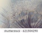 Dandelion Seeds With Dew Drops...