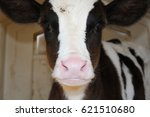 Small photo of Holstein calf
