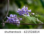 Small photo of Blooms of American Wisteria