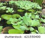 water lettuce on water   Shutterstock . vector #621550400