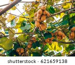 the kiwifruit on a tree. liana... | Shutterstock . vector #621659138
