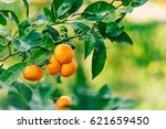 orange mandarin on the tree.... | Shutterstock . vector #621659450