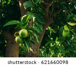 green mandarins on a tree.... | Shutterstock . vector #621660098