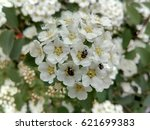 Tiny White Flowers With Bugs