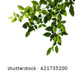 tree branch isolated | Shutterstock . vector #621735200