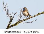 white spotted bluethroat ... | Shutterstock . vector #621751043