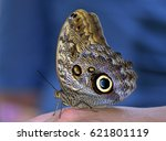 The Owl Butterflies  The Genus...